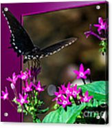 Black Butterfly 06 Acrylic Print