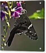 Black Butterfly Acrylic Print by Elery Oxford