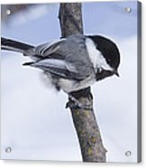 Black Capped Chickadee Acrylic Print by Gerald Murray Photography