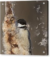 Black-capped Chickadee In Winter Acrylic Print by Mircea Costina Photography