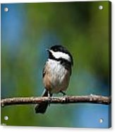 Black Capped Chickadee Perched On A Branch Acrylic Print