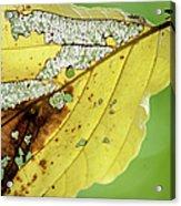 Black Cherry Leaf Acrylic Print