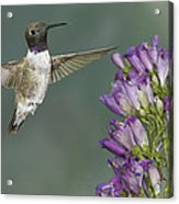 Black Chinned Hummingbird 2 Acrylic Print