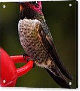 Black Chinned Male Hummingbird Acrylic Print