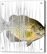 Black Crappie Pan Fish In The Reeds Acrylic Print