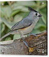 Black-crested Titmouse Acrylic Print