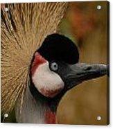 Black Crowned Crane Acrylic Print