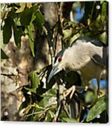 Black-crowned Heron Looking For Nesting Material Acrylic Print