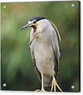 Black-crowned Night Heron Calling Acrylic Print