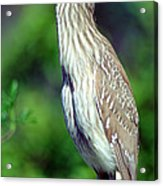 Black-crowned Night Heron Juvenile Acrylic Print