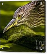 Black Crowned Night Heron Pictures 115 Acrylic Print