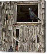 Black Crows At The Old Barn Acrylic Print