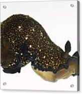 Black Dendrodoris Nudibranch Acrylic Print