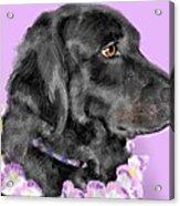Black Dog Pretty In Lavender Acrylic Print