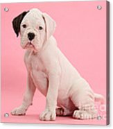 Black Eared White Boxer Puppy Acrylic Print by Mark Taylor