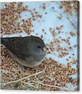 Black Eyed Junco Acrylic Print