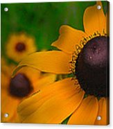 Black Eyed Susan Acrylic Print by Brittany Perez