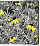 Black-eyed Susan Field Acrylic Print