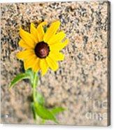 Black-eyed Susan Flower On A Gneiss Rock Acrylic Print
