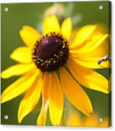 Black-eyed Susan With Friend Acrylic Print