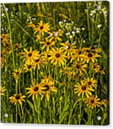 Black Eyed Susans Acrylic Print by Paul Herrmann