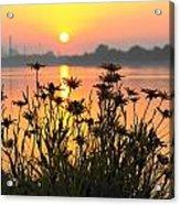 Black-eyed Susans Sunrise Acrylic Print