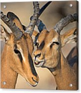 Black-faced Impalas Aepyceros Melampus Acrylic Print