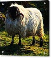 Black Faced Mountain Sheep Acrylic Print