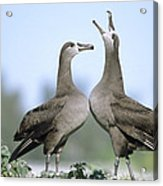 Black-footed Albatross Courtship Dance Acrylic Print