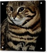 Black-footed Cat Acrylic Print