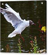 Black Head Gull - Preparing For Landing Acrylic Print