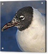 Black Headed Gull Portrait Acrylic Print