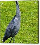 Black Headed Heron Acrylic Print