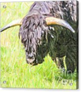 Black Highland Cattle Bull Acrylic Print