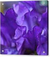 Black Iris Up Close Acrylic Print