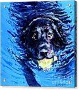 Black Lab  Blue Wake Acrylic Print by Molly Poole