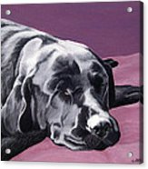 Black Labrador Beauty Sleep Acrylic Print