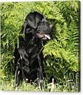 Black Labrador Dog Acrylic Print