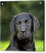 Black Labrador Puppy Acrylic Print