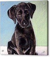 Black Labrador Puppy Acrylic Print by Prashant Shah