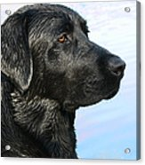 Black Labrador Retriever After The Swim Acrylic Print
