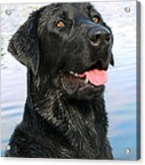Black Labrador Retriever Dog Smile Acrylic Print