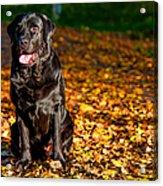Black Labrador Retriever In Autumn Forest Acrylic Print