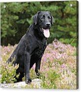 Black Labrador Retriever Acrylic Print