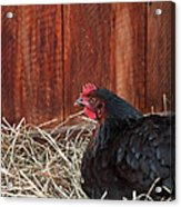 Black Laying Hen On Nest Art Prints Acrylic Print