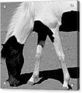 Black N White Horse Acrylic Print