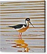 Black Neck Stilt Standing Acrylic Print
