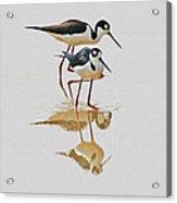 Black Neck Stilts Togeather Acrylic Print