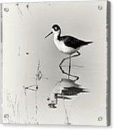 Black-necked Stilt At Carson Lake Wetlands Acrylic Print by Priscilla Burgers
