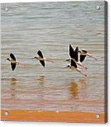 Black-necked Stilt - Lake Powell Acrylic Print
